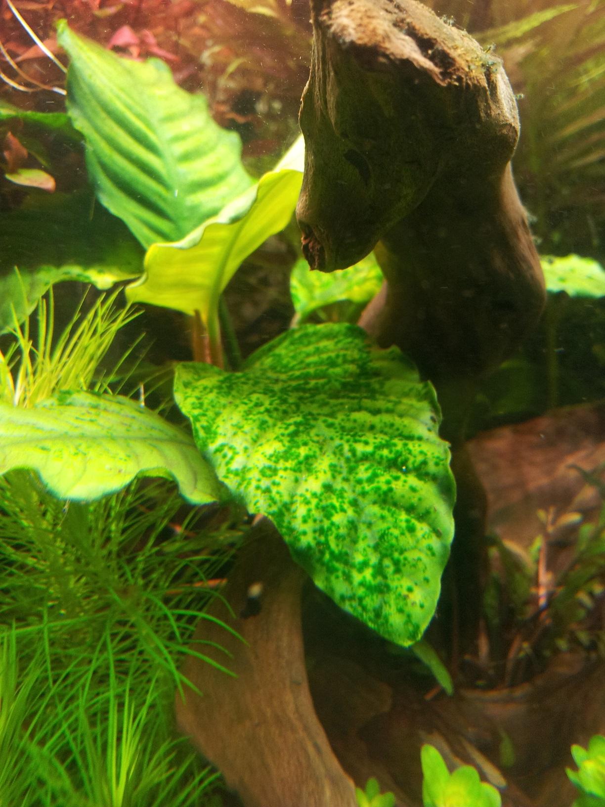 Gr?ne Punkte im Aquarium - Algen im Aquarium - Aquascaping Forum